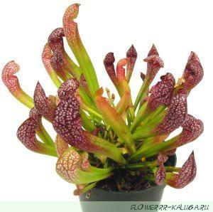 Саррацения (Sarracenia)