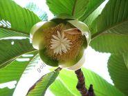 Слоновое яблоко   (Dillenia indica)   10 семян