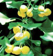 Гинкго Билоба (Ginkgo biloba)  10 семян