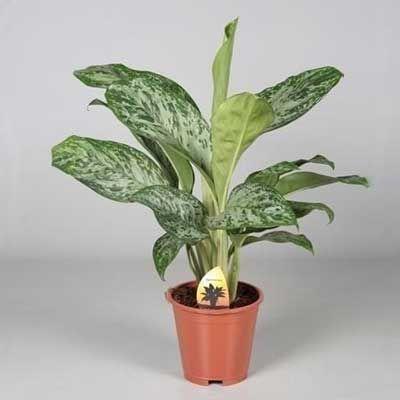 Комнатное растение - цветы Аглонема