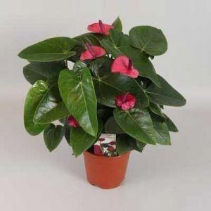 Комнатное растение - цветы Антуриум