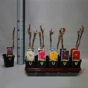Комнатные растения - цветы Пион древовидный