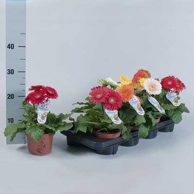 Комнатные растения - цветы Гербера