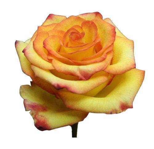 """Роза """"Хич Мэджик"""" 80 см."""