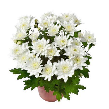 Хризантема кустовая микс 5