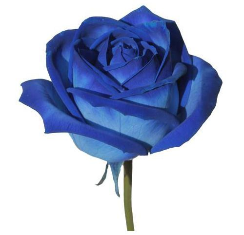 """Роза """"Аваланж"""" синяя"""
