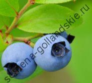 """Голубика """"КАНАДСКАЯ"""" (Vaccinium angustifolium) 10 семян"""