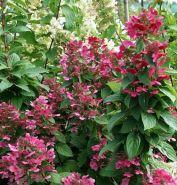 Гортензия метельчатая Мэджикал Фаер (Hydrangea paniculata Magical Fire)
