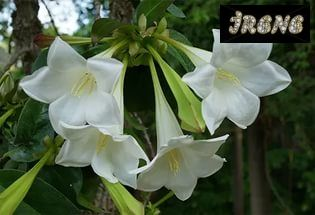 Портландия крупноцветковая (Portlandia grandiflora)