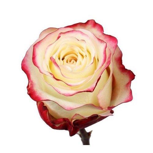 """Роза """"Свитнес"""" 50 см."""