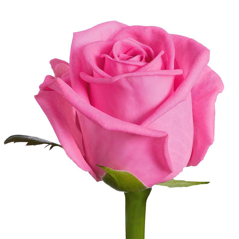 """Роза """"Аква""""  70  см."""