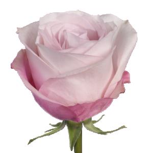 """Роза """"Солярис"""" 80 см."""