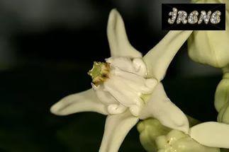 Calotropis GIGANTEA WHITE (Калотропис)