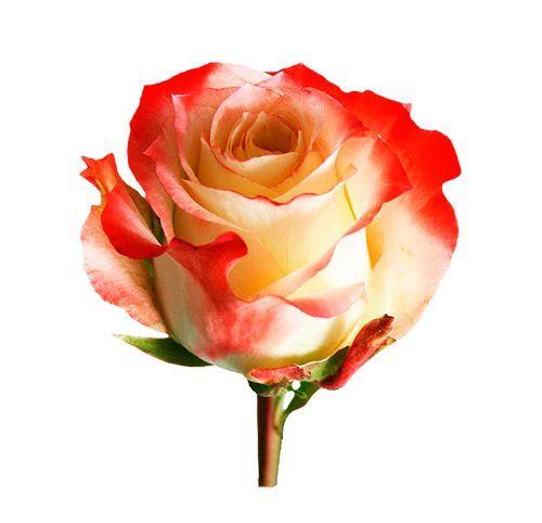 """Роза """"Кабарет"""" 40 см."""