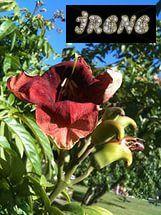 Markhamia zanzibarica (Маркамия занзибарская, Бобовый колокольчик, Mtalawanda, M. acuminata)
