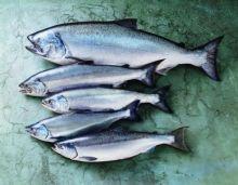 Лосось (сёмга) с головой тушка 4 - 5 кг Чили от 5 кг