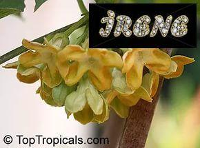Telosma cordata variegata,  Телосма вариегатная