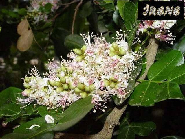 Schotia latifolia ( Шотия (Схотия)  широколистная )