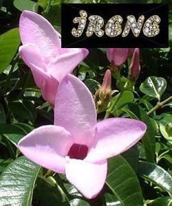 ❃ Cryptostegia grandiflora (Криптостегия мадагаскарская, резиновая лиана) ❃