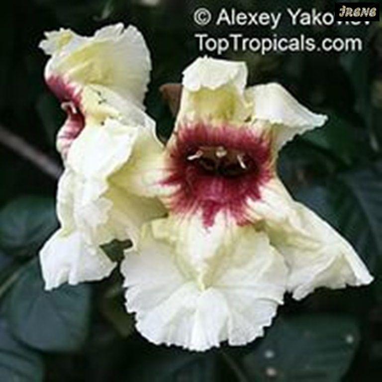Markhamia stipulata (Маркхамия прилистниковая)