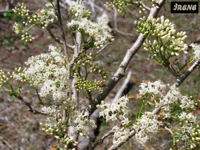 Ehretia obtusifolia Эретия туполистная
