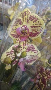 Орхидея El.Charmer / Чармер 12/65