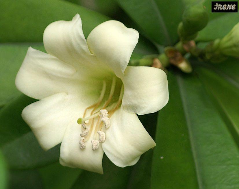 Fagraea ceilanica (short leaf) - (Фагрея цейлонская укороченный размер листа)