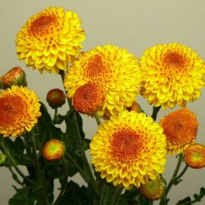 № 35 Хризантема Bright Eye Yellow