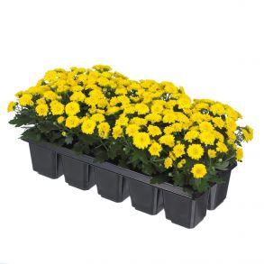 № 34 Хризантема Baby Mum Yellow