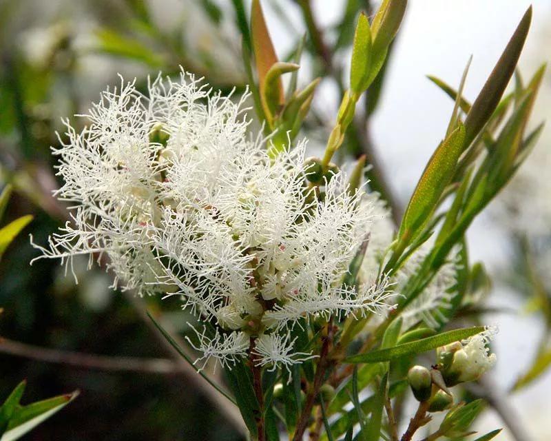 Мелалеука Льнянколистная, Австралийское чайное дерево (Melaleuca linariifolia) - саженец