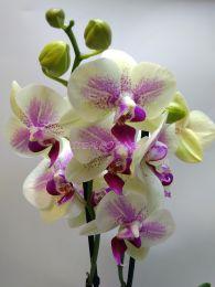 Орхидея Клеопатра ( Kleopatra ) 12/70 см.