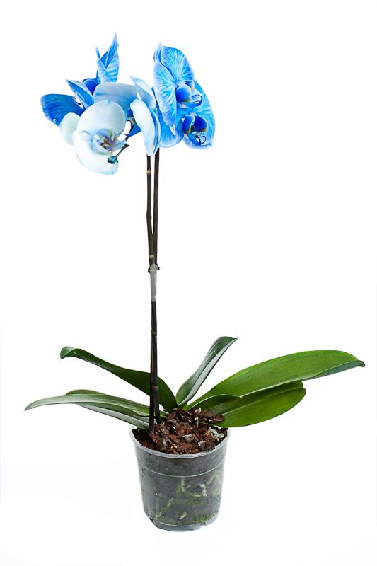 Фаленопсис Королевский Голубой