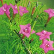 """Ипомея сорт """"РОЗА"""" (quamoclit Rose)   50 семян"""