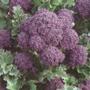 """Капуста брокколи сорт """"ПУРПУРНОЕ ЛЕТО""""  (Summer Purple)   325 семян"""