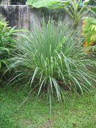 """Цимбопогон сорт """"ЦИТРОН"""" (Cymbopogon citratus)   400 семян"""