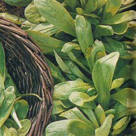 """Салат  сорт """"СЕВЕРОГОЛЛАНДСКИЙ"""" (Noordhollandse)  1850 семян"""