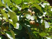 "Актинидия  сорт ""КИТАЙСКИЙ КИВИ"" (Actinidia chinensis)   10 семян"