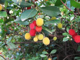Земляничное дерево   (Arbutus unedo - aarbeiboom)   10 семян