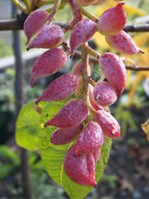 "Фисташка  сорт ""КИТАЙСКАЯ"" (Pistacia chinensis)   10 семян"