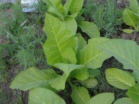 Семена табака Вирджиния  27