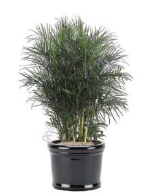 "Пальма  сорт ""БАМБУКОВАЯ""  (Chamaedorea seifrizii)   10 семян"