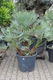 """Пальма  сорт """"СРЕДИЗЕМНОМОРСКАЯ СИНЯЯ""""  (Chamaerops humilis var. Cerifera)   10 семян"""