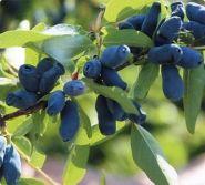 Жимолость плодовая Длинноплодная