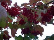 Калина плодовая Таежные Рубины