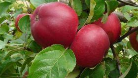 Яблоня традиционная Веньяминовское