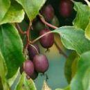 Плодовые лианы