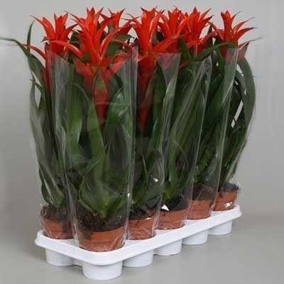 Комнатные растения - цветы Гузмания