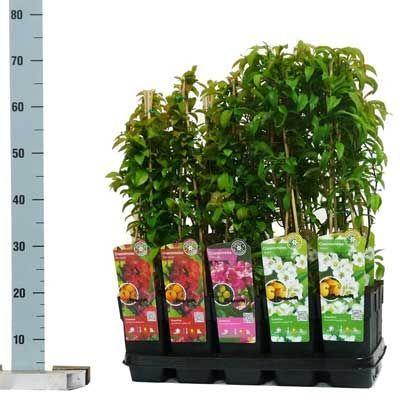 Комнатные растения - цветы Айва