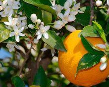Цветочная вода Апельсина, Спивакъ, 50мл