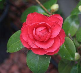 """Камелия """"ЯПОНСКАЯ"""" (Camellia japonica) 10 семян"""